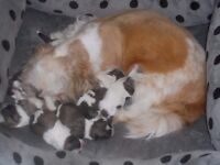 pedigree shih tzu puppies for sale