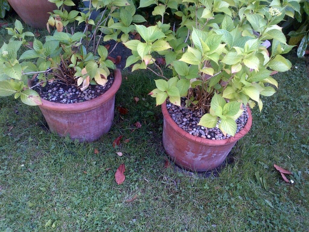 two Hydrangea or Hortensia plants in clay pots can deliverin Willesden, LondonGumtree - two hortensia plant in clay pots, the pots have parts of top trim missing but otherwise OK, they will flower soon, one of the photos shows them in full bloom last year can deliver