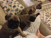 KC registered French Bulldog Puppy For Sale