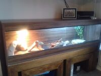 LARGE 5ft VIVARIUM + very friendly bearded dragon + all accessories COMPLETE SET UP great condition