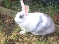 9 week old white and grey doe rabbit
