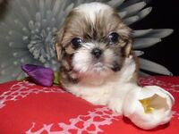 ... Beautiful small shih tzu with full pedigree ...