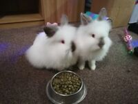 Free 2 white fluffy bunnies