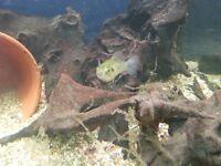 2 x Tropical Aquarium Puffer Fish £20