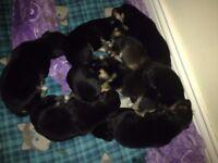 Doberman x husky pups