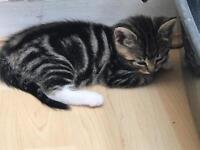 Gorgeous female Tabby kittens 🐱