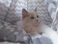 Ragdoll kitten for sale!