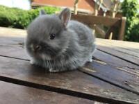Netherland Dwarfs Bunnies