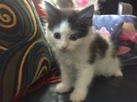 1/4 Main Coone Independent 9 weeks old kitten from a larger breed