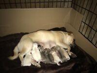 Beautiful rear pug puppies