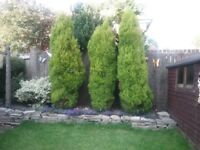 3,8 foot plus conifers