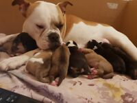 BEAUTIFUL OLD TYME BULLDOG PUPPIES