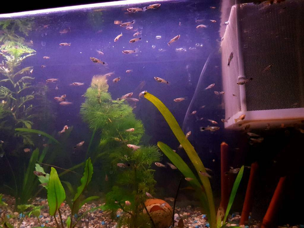 Tropical Fish Guppy And Molly Babies In Brentry Bristol Gumtree