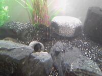 Frontosa cichlids fish Malawi aquarium