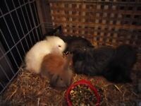 All sold Ready now lionhead baby rabbits