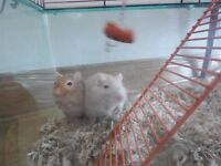 gerbils 2 and gerbilarium for sale £20.00