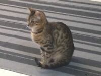 XX BEAUTIFULLY MARKED BENGAL KITTENS FOR SALE XX