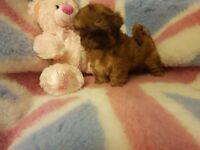 ADORABLE IMPERIAL SHIH TZU PUPPIES FOR SALE.