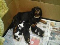 Adorable Pedigree Cavalier King Charles Spanniel Puppies