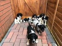 English springer spaniel puppys