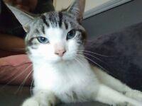 Snowshoe Male Cat.