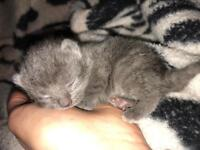 Stunning Russian Blue kittens