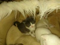 5 Adorable bsh mix kittens for sale,