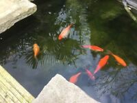 POND GOLD FISH MULTI COLOURED