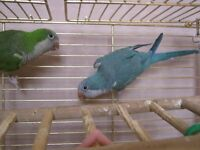 Bonded Pair of Quaker Parrots with Cage