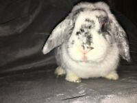 Gorgeous rabbit for adoption