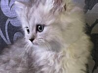 Chinchilla persian kittens 1 girl left ready now NO SCAMMERS !
