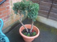conifer tree growing in planter