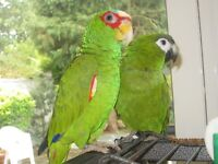 Two Parrots Hans Macaw & Amazon white fronted