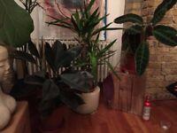 House plants w/ vase - 2x Devil's Ivy, 1x Rubber Plant, 1x Yucca and 1x Calathea