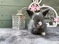 Mini Lop Bunny Rabbits (Mixed Litter)