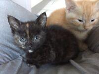Stunning tortoiseshell black ginger fleck mixed female kitten ready now
