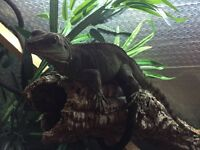 Chinese Water Dragon with full set up