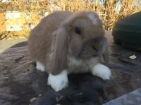 Baby pedigree mini lops