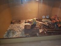 Bearded dragon and all encloser