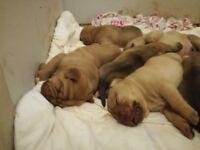 Dogue de Bordeaux cross puppies for sale