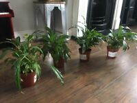 4 peace lilies indoor house plant