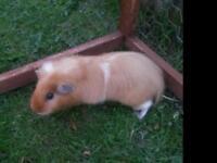 Guinea pigs. One 8wks, one 5mths.