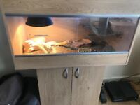 Bearded dragon and viv inclusive