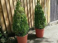 Pair of buxus plants