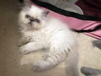 2 Female Persian Kittens