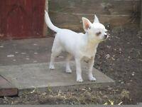 Chihuahua Puppy - 6.5 month boy