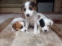 Chihuahua cross jackrussell pups for sale