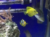 Marine fish (Clarkii clownfish swap )