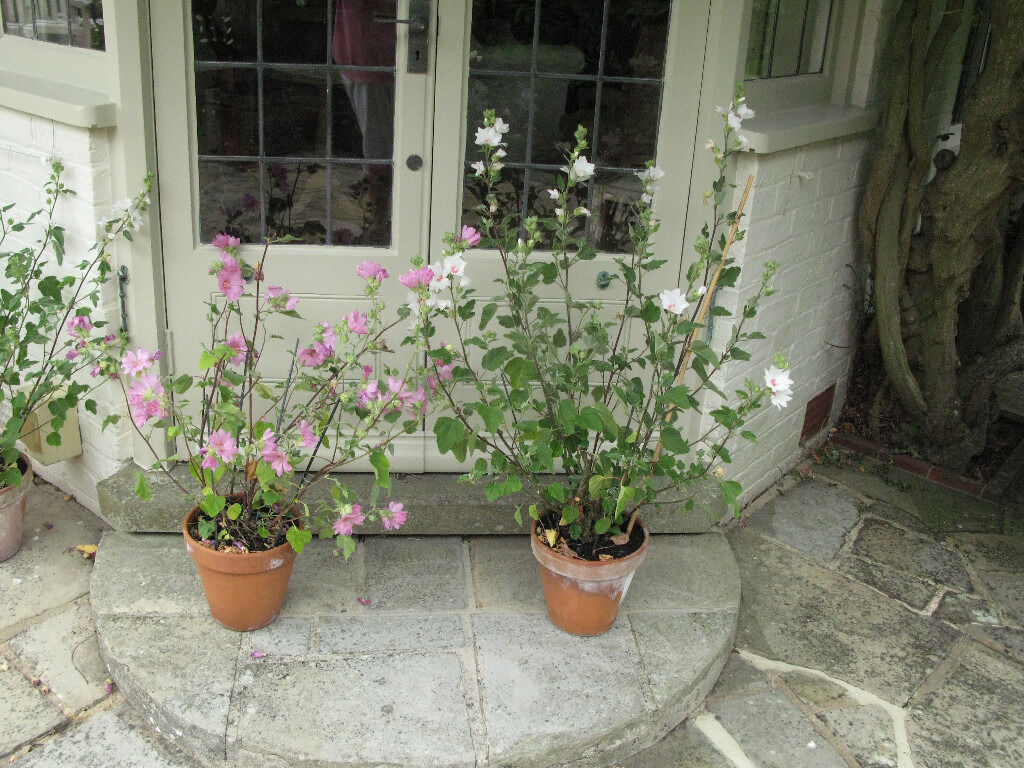 large terracotta pots with barnsley baby lavatera plants. Black Bedroom Furniture Sets. Home Design Ideas