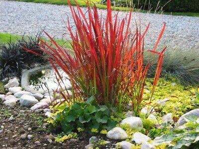 Imperata cylindrica 'Red Baron' (Ziergras/Gräser) JapanischesBlutgras